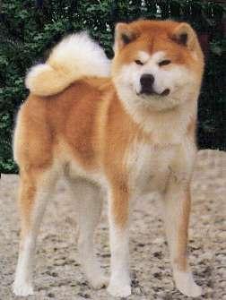 Akita-Inu Akita-Inu